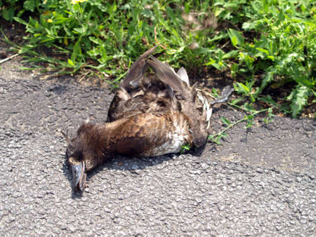 kill: Road kill duck Stock Photo