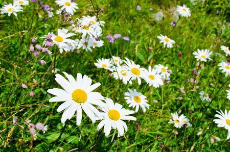 daisys: field with daisy s