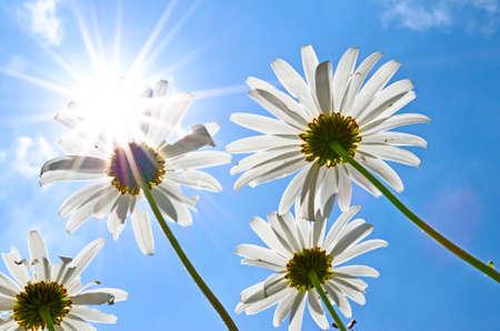 daisys: Daisy s in the sunlight Stock Photo