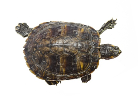 amphibian: Turtle top view Isolated