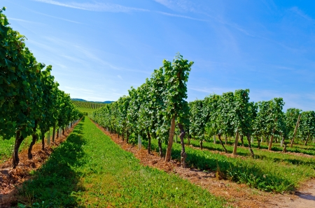German Vineyard at the Mosel photo