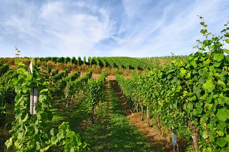 German Vineyard at the Mosel Stock Photo - 18661592