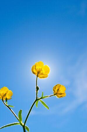 buttercup flower: Buttercup flower against the sun Stock Photo