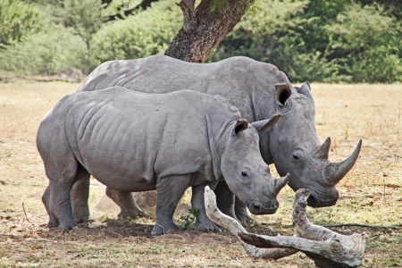Two African wildlife safari rhinoceros Stock Photo