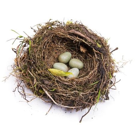 nido de pajaros: Abandonado mirlo aves nido con cuatro huevos