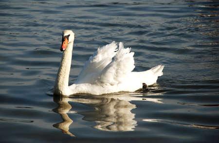 lavishly: Beautiful white swan swimming into the water