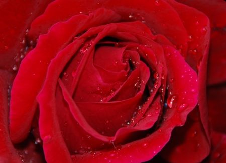 Red rose after the rain photo