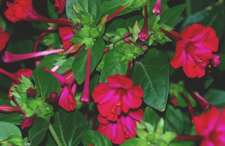 st valentin: Red flowers and green leaves