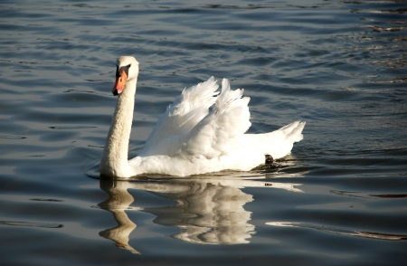 The beautiful, lonely swan photo