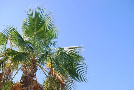 Palm tree on a simple background of the blue sky photo