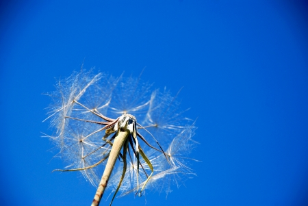 Dandelion. A spring flower on a background of the blue sky photo