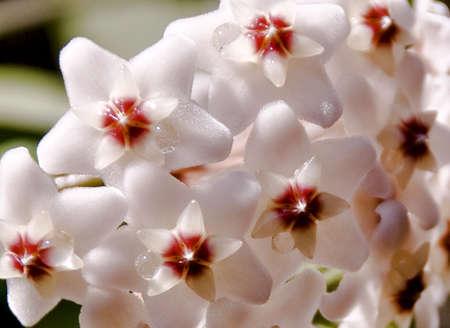 Delicate Flower Hoya Stock Photo - 17120281