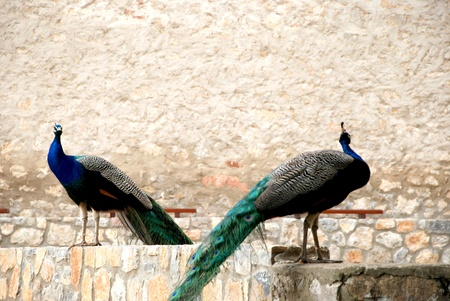 A pair of peacocks and background of the stone wall  photo