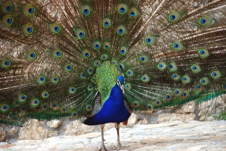 The beauty and splendor of the peacock  photo