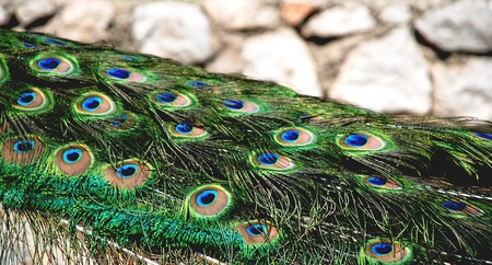 Details of the peacock feathers  photo