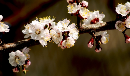 Blossoming branch of apricot tree  photo