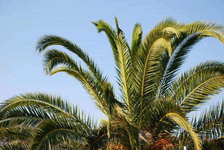 Palm branches on a background of blue  sky photo