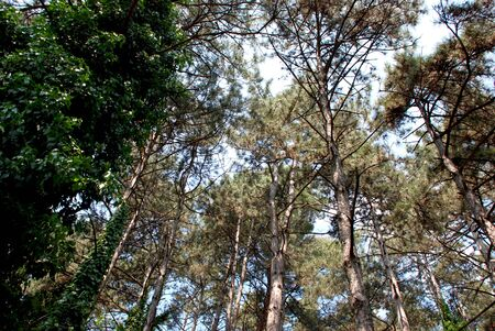 high winds: Looking to the sky through the branches of the trees  Stock Photo