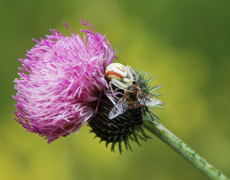 contrastive: Pink meadow flowers and insects on it on a green background