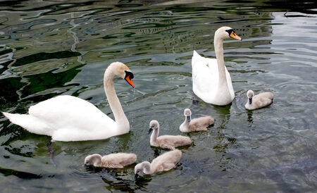 Family of swans in the waters of Lake Ohrid, Macedonia photo