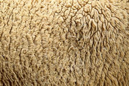 Sheep hair wool skin closeup background