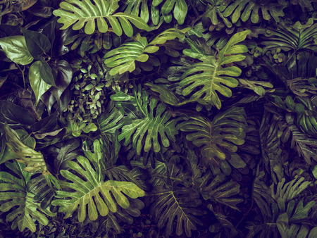 palm leaves: Green Monstera leaves texture for background - top view - in dark tone. Stock Photo