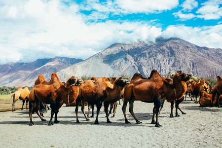 Group of double hump camels in the desert in Nubra Valley, Ladakh, India.
