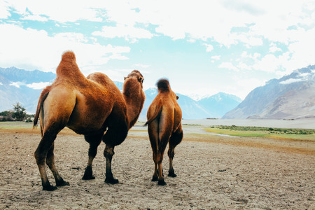 Double hump camels setting off on their journey in the desert in Nubra Valley, Ladakh, India.