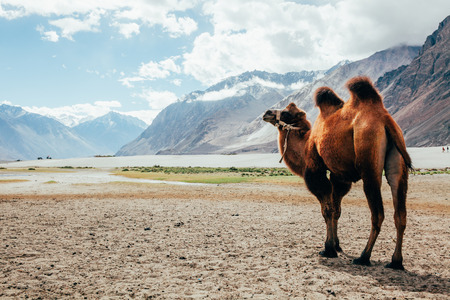 Double hump camel walking in the desert in Nubra Valley, Ladakh, India.