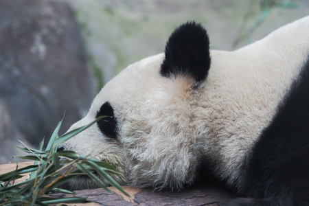Close-up of Chinese panda bear sleeping in nature background - (selective focus) Stock Photo