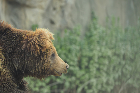 Closeup of wildlife brown grizzly bear in nature forest during rainy season Stock Photo