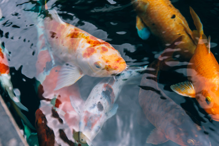 Japanese aquatic colorful Koi fishes swimming peacefully in the pond - Close up shot Stock Photo - 100021664