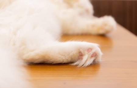Close up of paws of white fluffy cute cat sleeping and lying on back at home