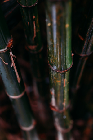 Portrait view of close-up green natural bamboo tree in cold tone - selective focus Stock Photo
