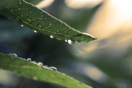 Close-up of dew droplets over on fresh green natural leaves in raining season in sunlight