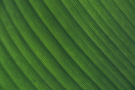 Close up of macro detailed  natural leaf texture in diagonal lines - used for ecology and nature background