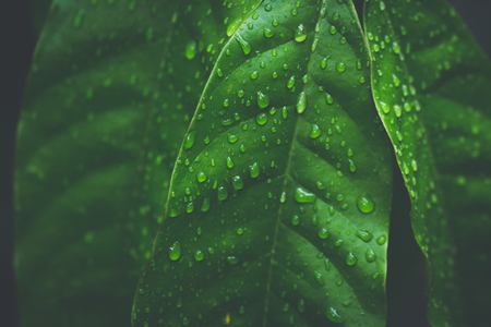 Close-up van dauwdruppeltjes op verse groene natuurlijke bladeren in het regenseizoen in donkere toon