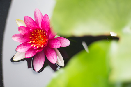 Beautiful water lily or lotus flower floating on a lake