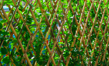 Wooden fence with vine in the garden