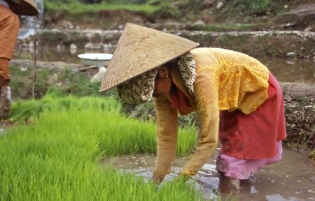 vrouw werkt in een rijst-veld Stockfoto