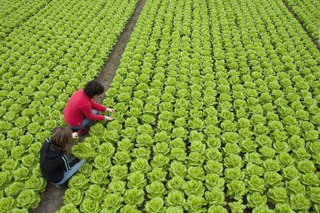 oogst van verse groene sla door twee vrouwen