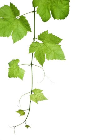 backdrop of grape or vine leaves isolated on white background.Please take a look at my other images of grape-leaves
