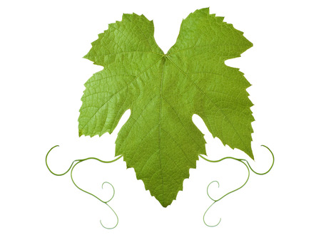backdrop of grape or vine leaves isolated on white background.Please take a look at my other images of grape-leaves Stock Photo - 1703164