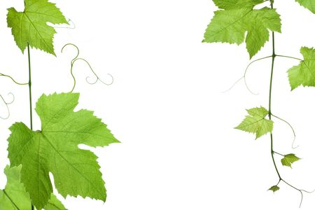 border of grape or vine leaves isolated on white background with copy-space.Please take a look at my other images of grape-leaves