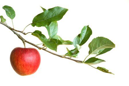 arbol de manzanas: manzana en una rama aislada sobre un fondo blanco