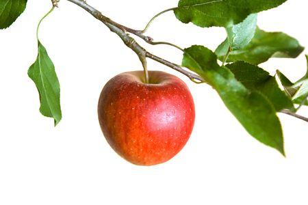 appel op een tak geïsoleerd op een witte achtergrond Stockfoto
