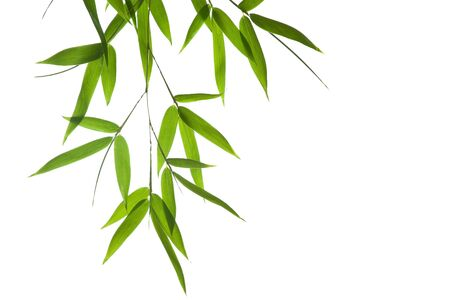 bamboo plant: High resolution image of wet bamboo-leaves isolated on a white background. Please take a look at my similar bamboo-images