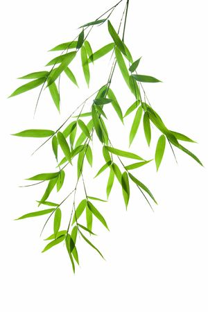 bambu: Imagen de alta resoluci�n de bamb� h�meda deja aislados en un fondo blanco. Por favor, eche un vistazo a mi similar de bamb�-images  Foto de archivo