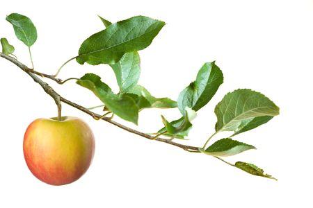 manzana en una rama aislada sobre un fondo blanco. centrarse en la manzana