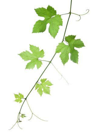 wijnbladeren: achtergrond van druivenmost of wijn stok bladeren geïsoleerd op witte background.Please nemen kijken naar mijn andere afbeeldingen van druivenmost bladeren Stockfoto